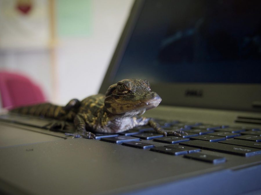 Odell the alligator posed on a computer on October 31st when he was brought to Journalism class during last block.
